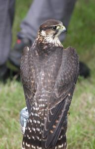 061 Perlin (cross between a Merlin and a Peregrine)